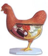 母雞器官模型 -