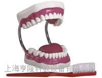牙护理保健模型(放大五倍) KAH-11A