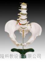 自然大骨盆带五节腰椎模型 KAH/A115
