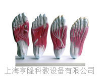 足底肌肉解剖模型 KAH2044