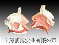鼻腔解剖模型  XC-309