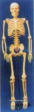 人体解剖模型85CM人体骨骼模型 GD-0111B