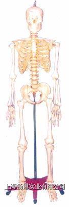 人体骨骼模型|128CM人体骨骼模型 GD-0101R1