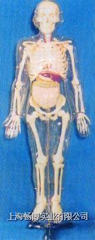 人体解剖模型|85CM人体骨骼带内脏模型 GD-0113E