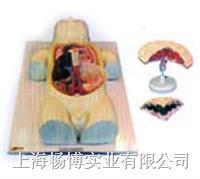 人体医学模型|胎儿血液循环及胎盘模型 SMO032