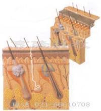 皮肤层次切面放大模型 GD/A41001