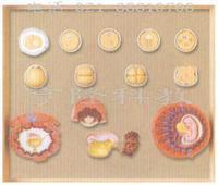 受精与初期胚胎发育过程模型 GD/A42003