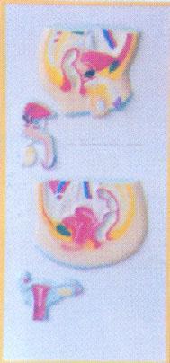 人体解剖系列模型|男女泌尿生殖系列浮雕 GD-0330JB