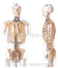 解剖教学模型|透明半身躯干附血管神经模型 GD/A10005
