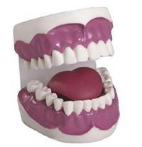 牙护理保健模型(28颗牙)(放大3倍) KAB/K2