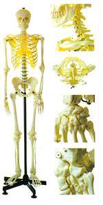 168cm全身骨骼模型