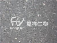 CRL-1589 IEC-18 大鼠回肠细胞 CRL-1589