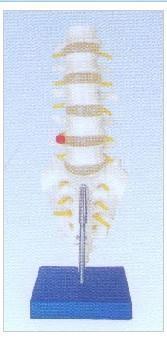 人体自然大腰椎带尾椎骨模型 腰椎带尾椎骨模型