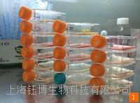 小鼠心脏干细胞
