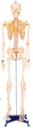 人体解剖模型系列