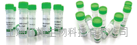 沉默调节蛋白7(SIRT7)重组蛋白